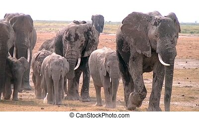 Herd of elephants at the watering h