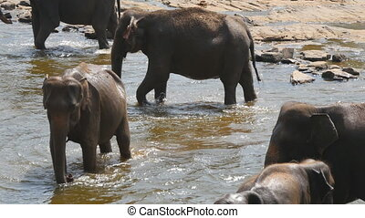 Herd of elephants bathe in river or lake. Close up