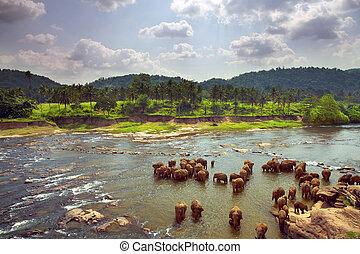 Herd of elephants bathing