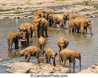 Herd of Elephants in a River