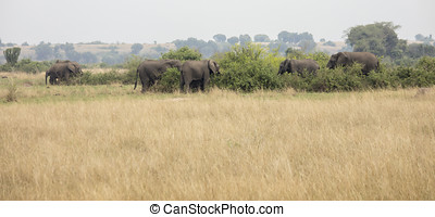 Herd of elephants in Queen Elizabeth National Park, Uganda