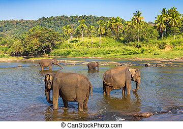 Herd of elephants in Sri Lanka