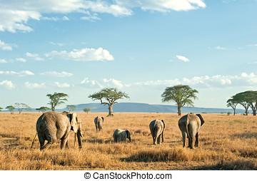 Herd of Elephants in the dry plains of Serengeti, Tanzania -...