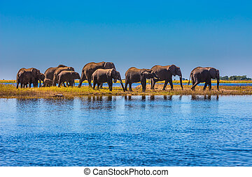 Herd of elephants adults and cubs crossing a river in...