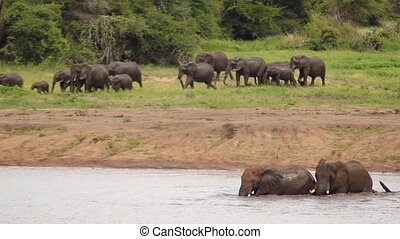 Herd of Elephants Walking Towards River