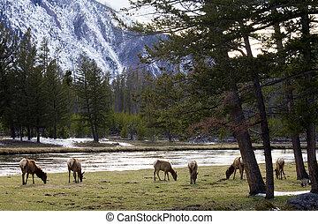 Herd of Elk in Yellowstone NP