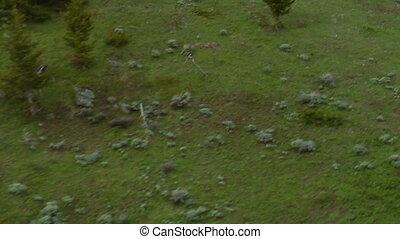 Herd of Elk run in slow motion in lush mountain meadow