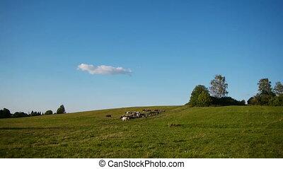 Herd of farm domestic animals grazi - Landscape shot of herd...