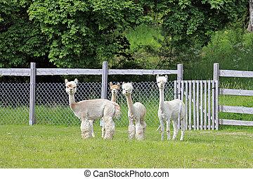 Herd of Four White Alpacas