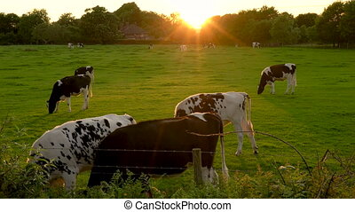 Herd of Friesian cows grazing, eating grass in a field on a farm at sunset or sunrise
