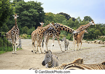 Herd of giraffes and zebras.