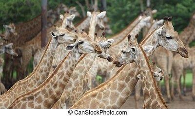 Herd of Giraffes in a Safari Park. Bangkok, THailand. HD. 1920x1080