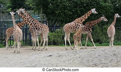 Herd of giraffes with cub. Republic of Ireland.