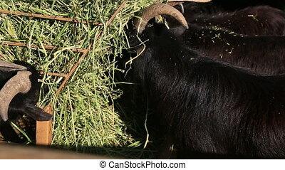 Herd of goat feeding