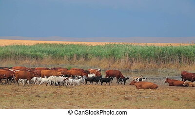 Herd Of Goats And Cows Comes To Pasture