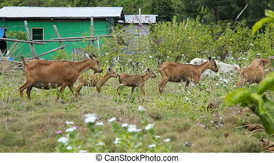 Herd of goats are on the meadow