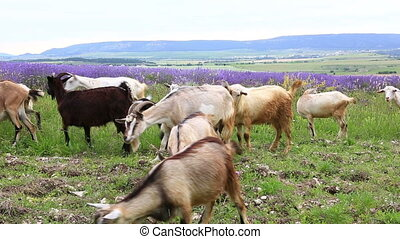 Herd of goats grazing in mountains - Band of goats feeding...