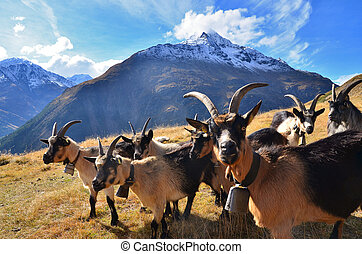herd of goats in the mountains
