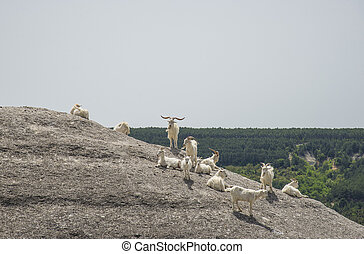 Herd of goats in the mountains in spring day