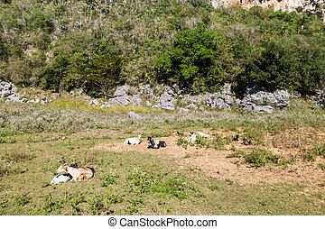 Herd of goats in Vinales valley, Cub