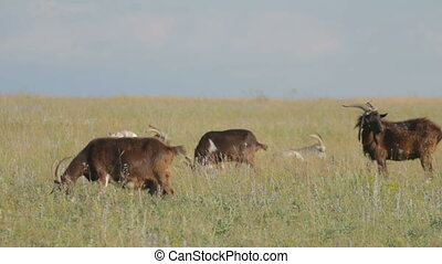 Herd of goats nipping the grass in - Herd of horned brown...