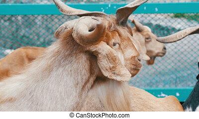 Herd of goats on goat farm - Herd of goats on a goat farm