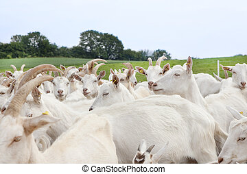 Herd of goats on pasture - a flock of white goats standing...
