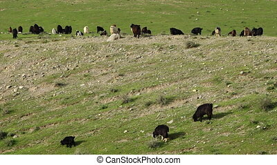 Herd of Goats on Rocky and Grassy Field - Steady, medium...