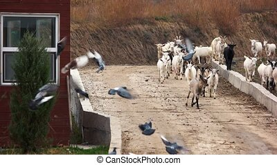 Herd of goats running on the road towards farm.