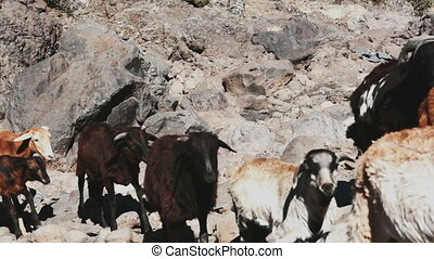 Herd of goats - Small herd of goats walking in front of...