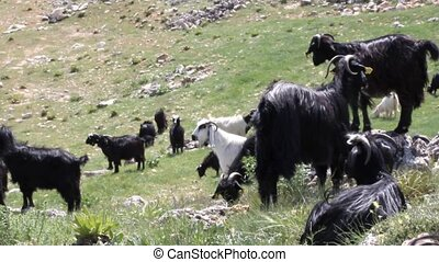herd of goats spreading in the meadow