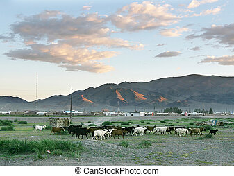 Herd of goats  in the mongolian village at sunset