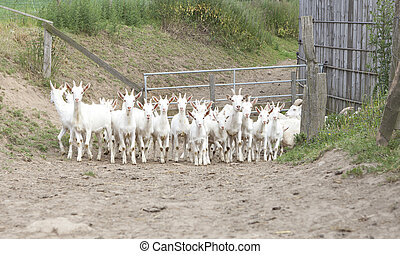 herd of goats - a herd of young white goat running on a path...