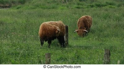 Herd of highland cattle - Pasturing herd of highland cattle...