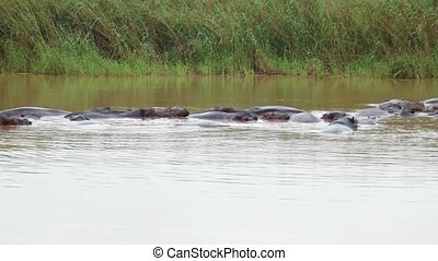 Herd of hippopotamuses bathing in river in Kruger National Park.
