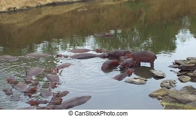 animal, nature and wildlife concept - herd of hippos in maasai mara national reserve river at africa