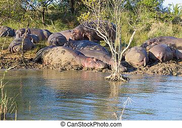 Herd of hippos sleeping, Isimangaliso Wetland Park, South...