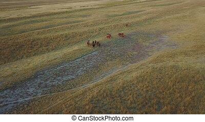 Herd of horses. Aerial survey - A herd of wild horses in a...