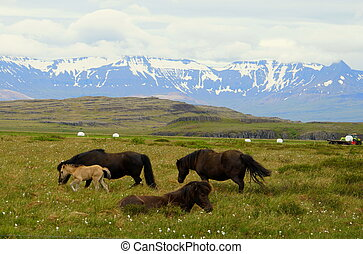 Herd of horses at a farm overlooking the snowy mountains in Iceland