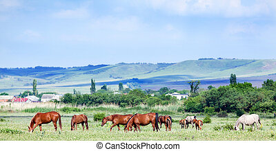 Herd of horses at pasture.