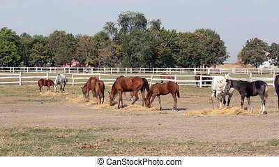 herd of horses eating hay ranch scene