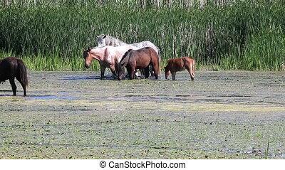 herd of horses graze on river