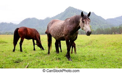 Herd of horses grazing in mountains - Band of horses feeding...