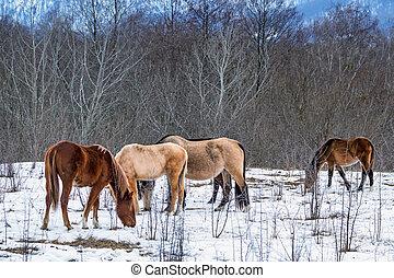 Herd of horses grazing in winter