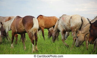 Herd of horses in the pasture - Herd of horses grazing...