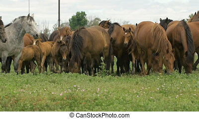 Herd of horses in the russian prairie - Herd of horses...