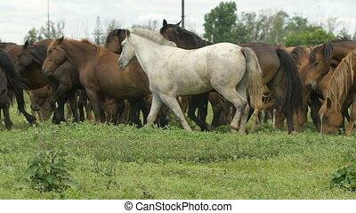 Herd of horses in the russian prairie