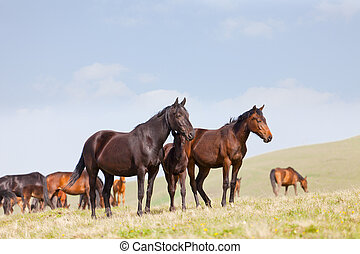 Herd of horses on a pasture in mountains, the Caucasus, Russia