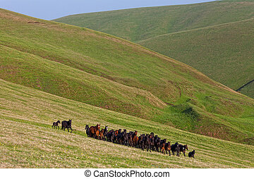 Herd of horses on a summer pasture. Caucasus,...