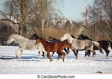 Herd of horses running in winter